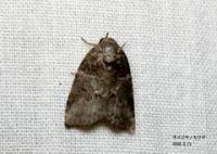 蛾の種類・卵の特徴|大きい/小さい/毒/白/黒/緑/ …