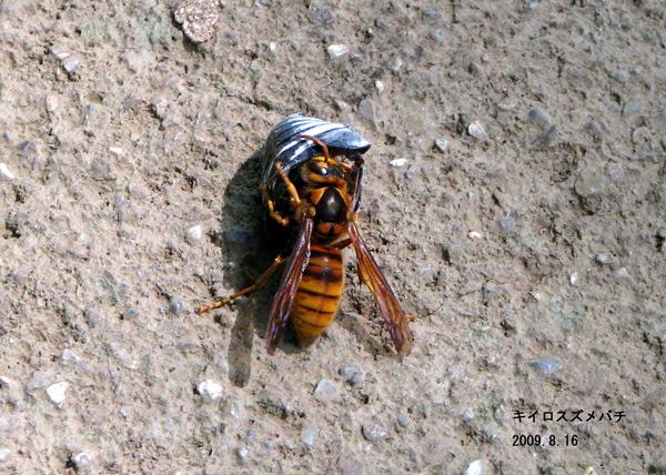 ... (黄色雀蜂) スズメバチ科